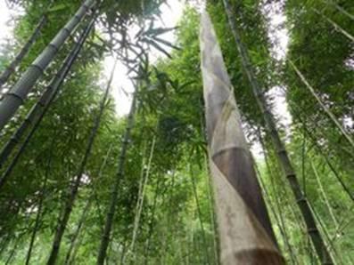 高清竹笋林风景照片